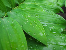 Macro. Wet green leaves. Macro wet green leaves with raindrops royalty free stock photo