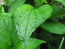 Macro. Wet green leaves. Macro wet green leaves with raindrops royalty free stock photos