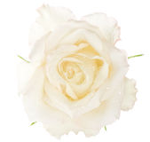 Macro wet rose. Macro image of a white rose. Isolated on white Royalty Free Stock Photos