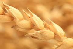 Macro wheat Royalty Free Stock Photo