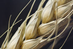 Macro of wheat plant Stock Photography