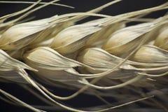 Macro of wheat plant. Macro shot of wheat plant royalty free stock photography