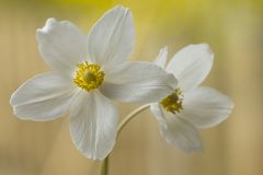 White anemone, flooded with light Royalty Free Stock Image