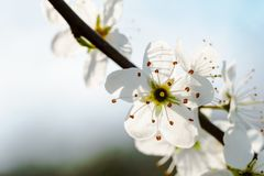 Macro of white cherry blossoms on a twig, backlit by sunlight - copy space stock photography