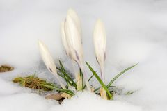 White crocus flowers in the snow Royalty Free Stock Image