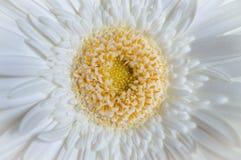 macro of white daisy with yellow and orange Stock Image