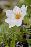 Macro of white Dryas Royalty Free Stock Image