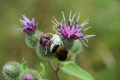 Macro of white floral caucasian spider and bumblebee. Macro of white floral Caucasian white spider spider and yellow-black bumblebee on inflorescences of burdock royalty free stock image