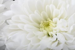 Macro of white flower aster Royalty Free Stock Photo