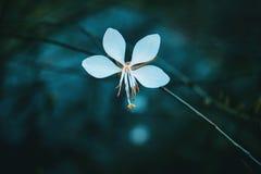 Macro of white flower of gaura stock photos