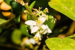 Free Macro White Flower Lemon ,Lime Blossom On Tree Stock Photo - 117042210