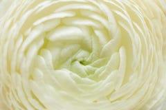 Macro white flower of Ranunculus as background. stock photo