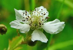 Macro white flower with stamens. In the thick grass in the middle of summer, wild flower resembles a flower a fruit. Summer time: May, June, July Stock Image