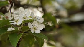 Macro white flowering pear tree royalty free stock images