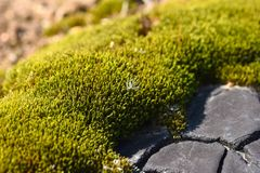Macro white fluff on green moss. Macro white fluff  green moss Stock Photo
