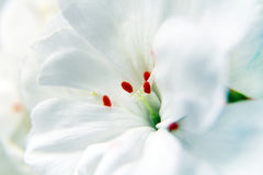 Macro of white geranium flowers Stock Photo