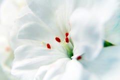 Macro of white geranium flowers Stock Photo
