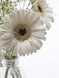 Macro of White Gerbera Royalty Free Stock Photos