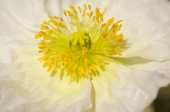 Macro White Iceland Poppy Bloom Royalty Free Stock Photography