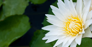 Macro of White Lotus Stock Photos