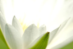 macro white lotus with soft focus Stock Photo