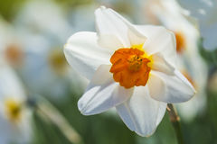 Macro of White Narcissus in Garden Outdors. Horizontal Image Royalty Free Stock Photo