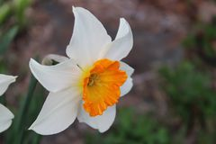 Macro of white and orange flower royalty free stock photo