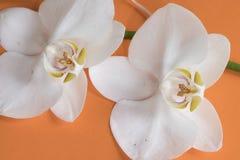 Macro white orchid on the orange table stock photo
