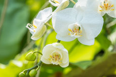 Macro of white orchid, Phalaenopsis. Royalty Free Stock Photos