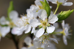 Macro white plums flower Royalty Free Stock Images
