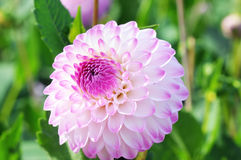 Macro of white purple Dahlia in flowerbed. summertime. Stock Photo