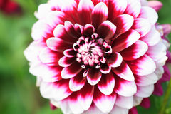 Macro of a white red dahlia Stock Photography