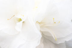 Macro of a white rhododendron . Landscape Stock Images