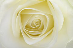 Macro of white rose Stock Photography