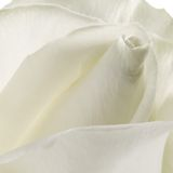 Macro white rose Stock Photography