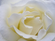 Macro white rose stock photos