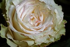 Macro of a white rose flower stock photos
