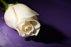 Macro white rose on lilac Royalty Free Stock Image