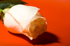 Macro white rose on red Royalty Free Stock Photography