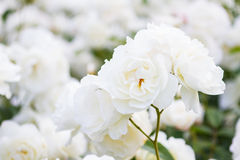 Macro of white roses Royalty Free Stock Photos