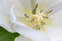 Macro of white tulip flower Royalty Free Stock Images