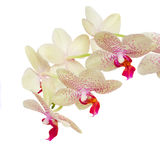Macro of white with violet orchid flowers Stock Photo
