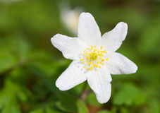 Macro of a white wood anemone Royalty Free Stock Photography
