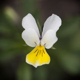 Macro white and yellow viola flower Royalty Free Stock Image