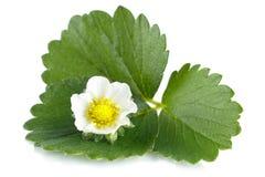 Macro whole strawberry flower isolated on white Royalty Free Stock Photography