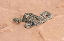 Macro of Wild Baby Prairie Rattlesnake Crotalus viridis. On Red Rock in Colorado royalty free stock photography