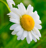 Macro wild chamomile 2 Royalty Free Stock Photography