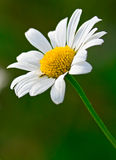 Macro wild chamomile Royalty Free Stock Images