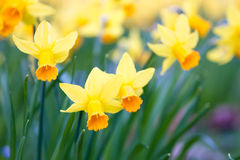 Macro of wild daffodils Stock Photo