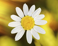 Macro of wild daisy in the field Stock Photography